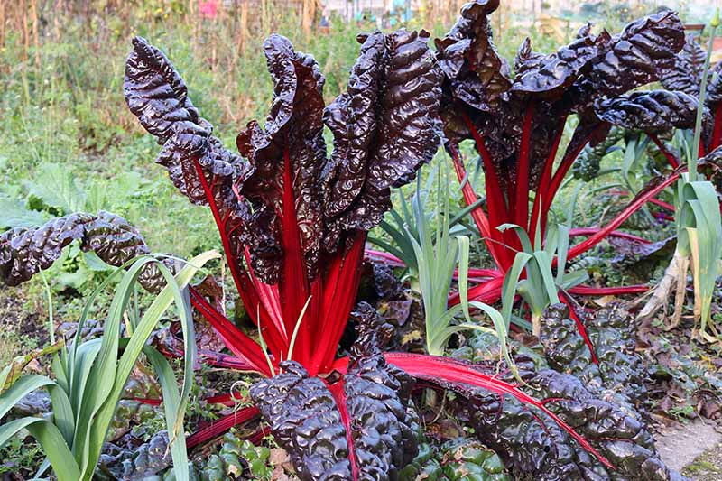 A close up horizontal image of chard with deep red stems and dark purple leaves growing in the garden interplanted with leeks and a variety of herbs, pictured in light sunshine with a garden scene in soft focus in the background.