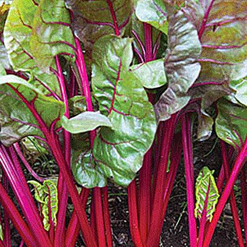A close up square image of 'Red Magic' Swiss chard growing in the fall garden, with bright red stems and dark green leaves.