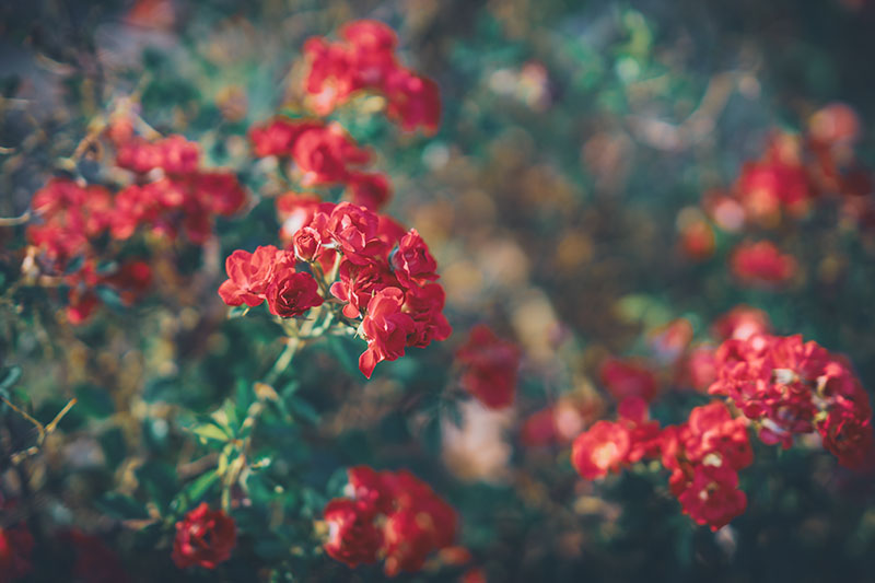 A horizontal image of bright red flowers growing in the garden pictured in light evening sunshine on a soft focus background.