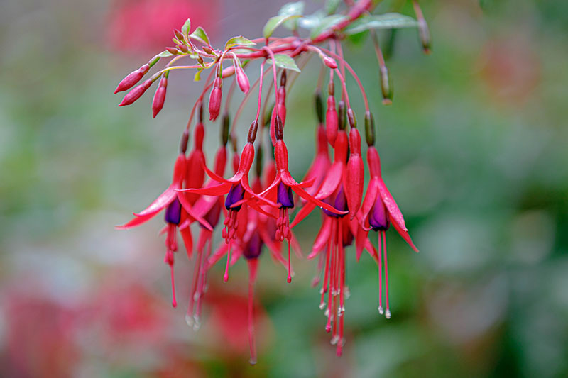A close up horizontal image of a cluster of red and purple fuchsia flowers growing in the garden, pictured on a soft focus background.