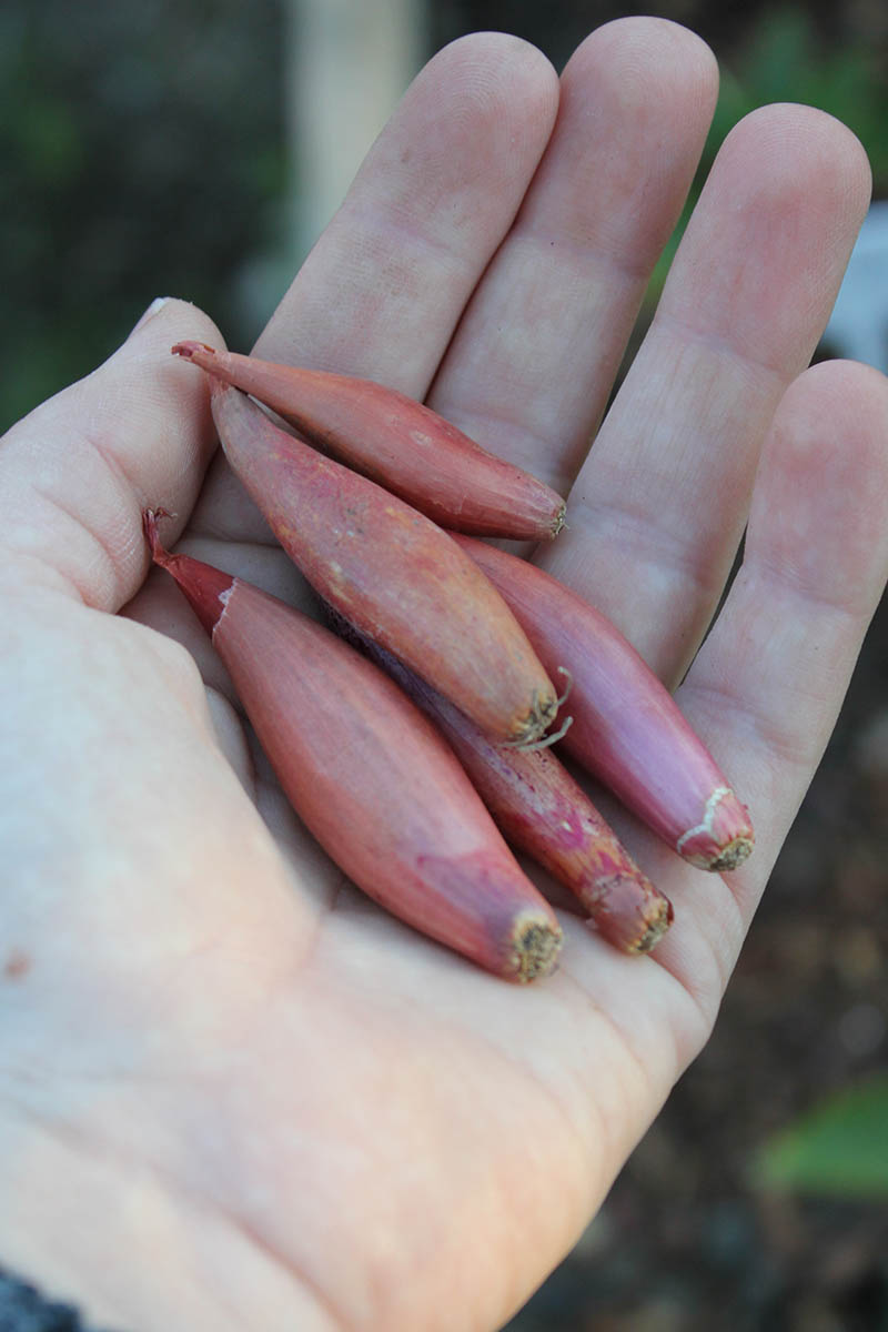 A close up vertical picture of a hand holding 'Roderique' French shallot sets ready for planting out in the garden.