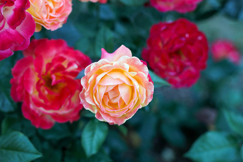 A close up horizontal image of different colored roses growing in the garden pictured on a soft focus background.