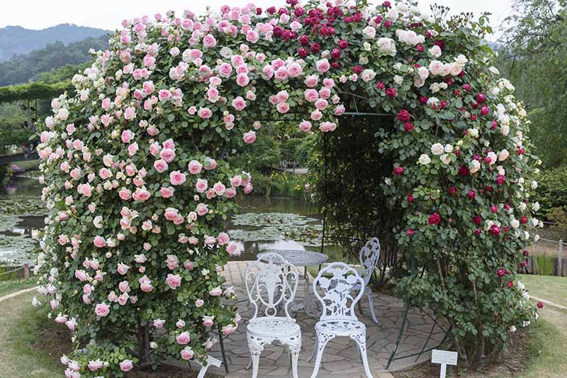 A horizontal image of a garden arbor in front of a lake covered in a proliferation of pink, white, and red roses, with white metal chairs and a table underneath.