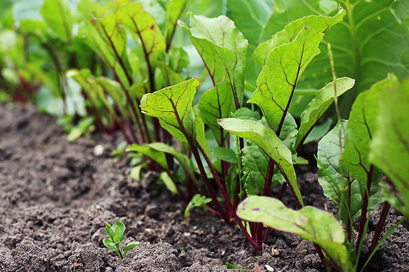 A close up horizontal image of a row of Beta vulgaris with healthy green tops growing in the garden in dark rich soil.