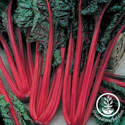 A close up square image of the bright red stems and dark green foliage of 'Ruby Red' Swiss chard freshly harvested and set on a wooden surface. To the bottom right of the frame is a white circular logo with text.