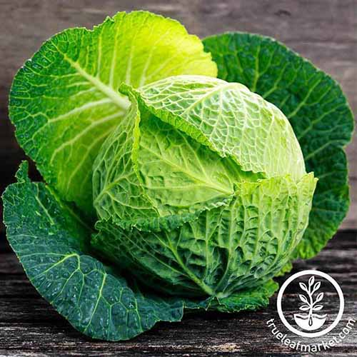 A close up square image of a Savoy cabbage, freshly harvested, and set on a wooden surface. To the bottom right of the frame is a white circular logo with text.
