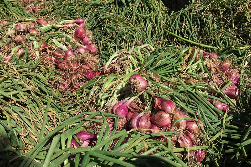 A close up horizontal image of freshly harvested shallots set on the ground in the garden, pictured in bright sunshine.
