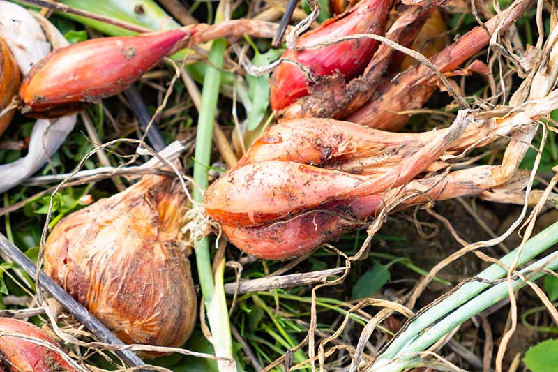 A close up horizontal picture of shallot bulbs pushing out of the ground, with clusters of bulbs attached to brown foliage, indicating they are ready for harvest.