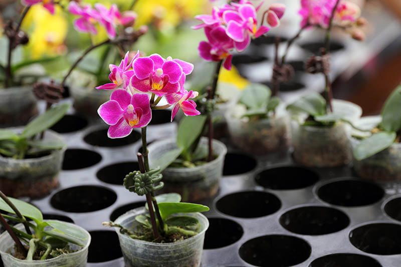 A horizontal image of small potted orchids with bright pink flowers for sale at a plant nursery.