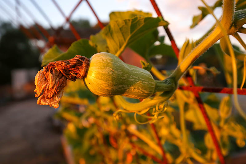 A close up horizontal image of a small pumpkin with the flower still attached growing on a vertical trellis to save space in the garden, pictured on a soft focus background.