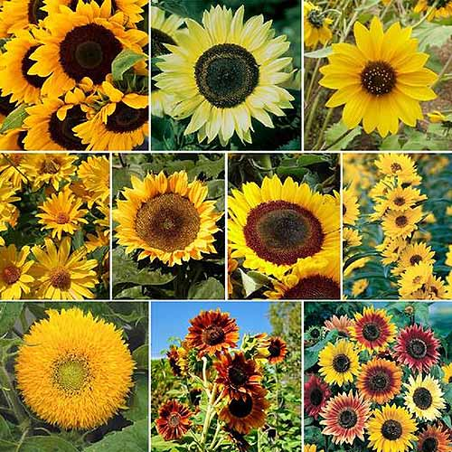 A square cropped image of a collage of different varieties of sunflowers.