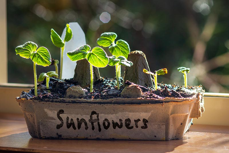 A close up horizontal image of a small biodegradable seedling tray set on a windowsill in light filtered sunshine on a soft focus background.