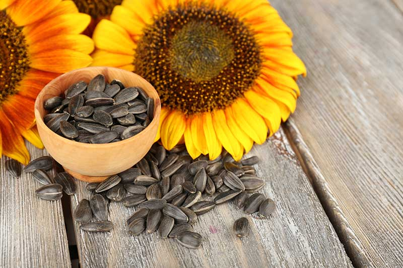 A close up horizontal image of sunflowers and freshly harvested pods in a small clay pot set on a wooden surface.