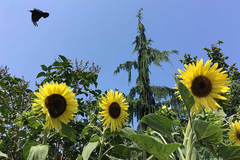 A horizontal image of sunflowers growing in the summer garden with a large crow flying overhead with trees in soft focus and blue sky in the background.