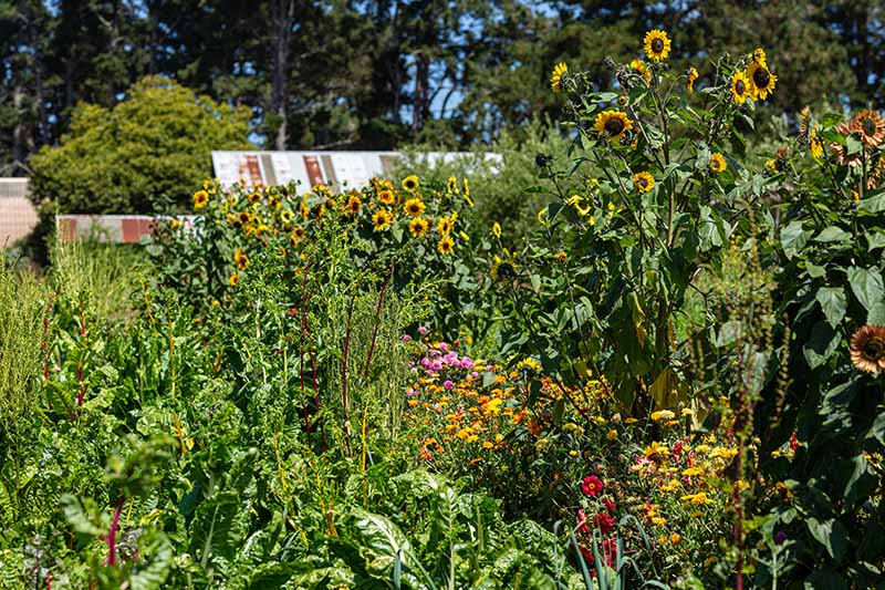 A horizontal image of a vegetable patch planted with a variety of crops and sunflowers growing on the edge, with trees and a house in the background.
