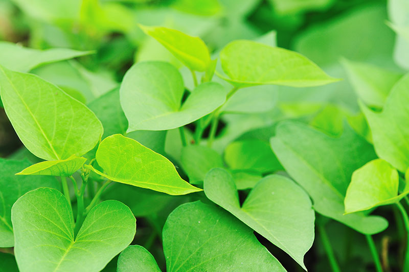 A close up of the light green foliage of Ipomoea batatas pictured in light sunshine on a soft focus background.