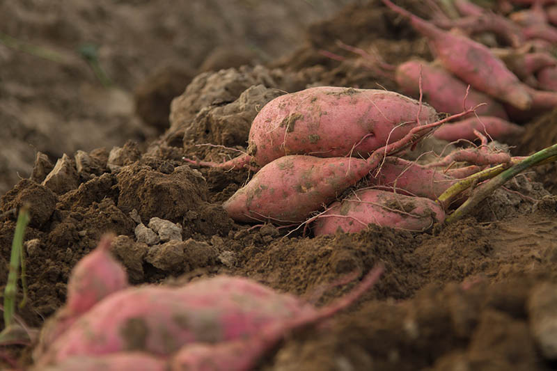 A close up horizontal image of freshly dug Ipomoea batatas tubers, in rich dark soil, pictured on a soft focus background.