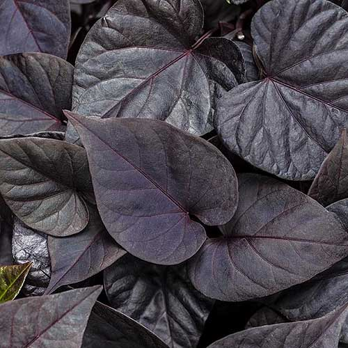 A close up square image of the dark purple foliage of Ipomoea batatas 'Sweetheart Jet Black' growing in the garden.