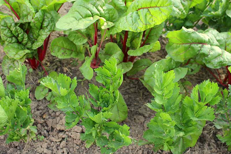 A close up horizontal image of chard interplanted with celery.