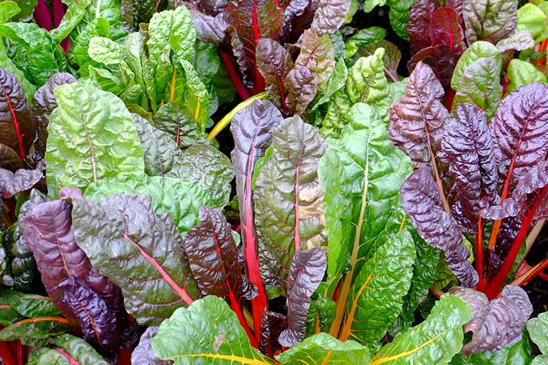 A close up horizontal image of the purple and green foliage of Swiss chard growing in the fall garden, ready for harvest.