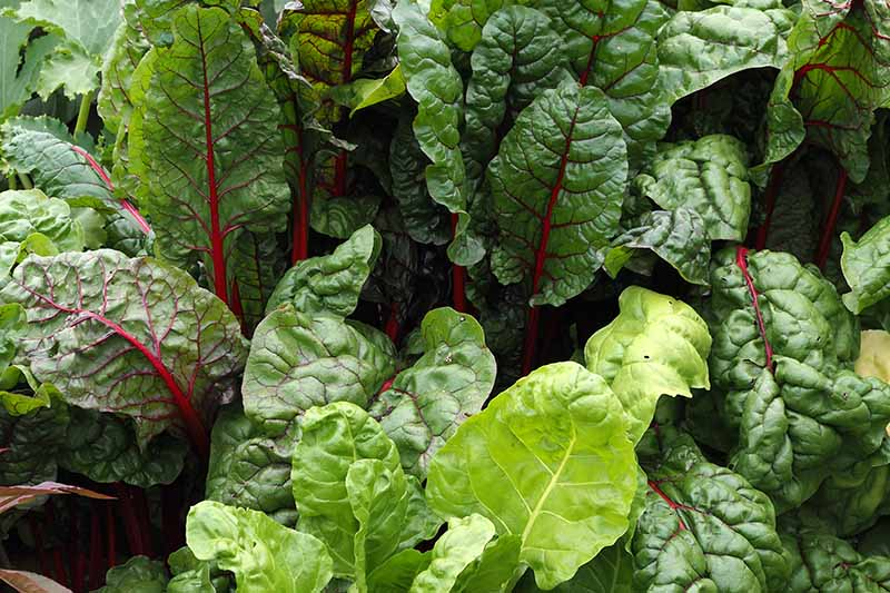 A close up of chard growing in the garden, with dark green foliage and red stems, pictured on a soft focus background.