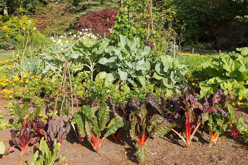 A horizontal image of a vegetable patch planted with Swiss chard and a variety of different companion plants, pictured in bright sunshine with shrubs and trees in soft focus in the background.