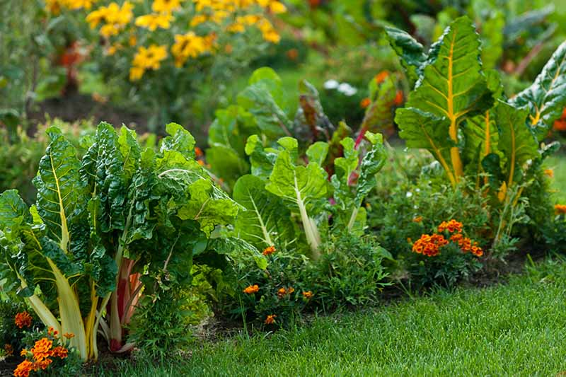 A horizontal image of a vegetable patch planted with Swiss chard and marigolds. In the foreground is green grass and in the background are perennial shrubs in soft focus.