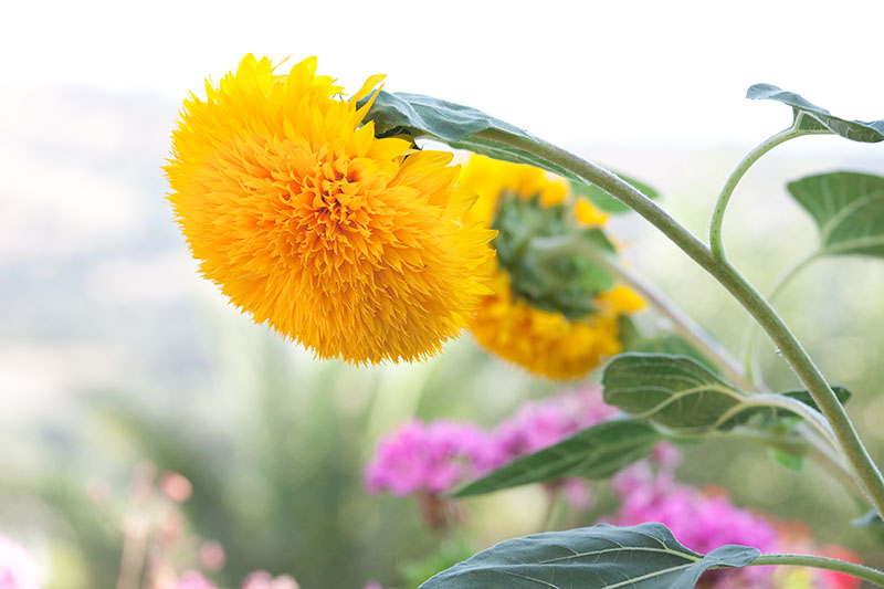A close up horizontal image of bright yellow pom-pom flowers of Helianthus annuus 'Teddy Bear' growing in the garden pictured on a soft focus background.