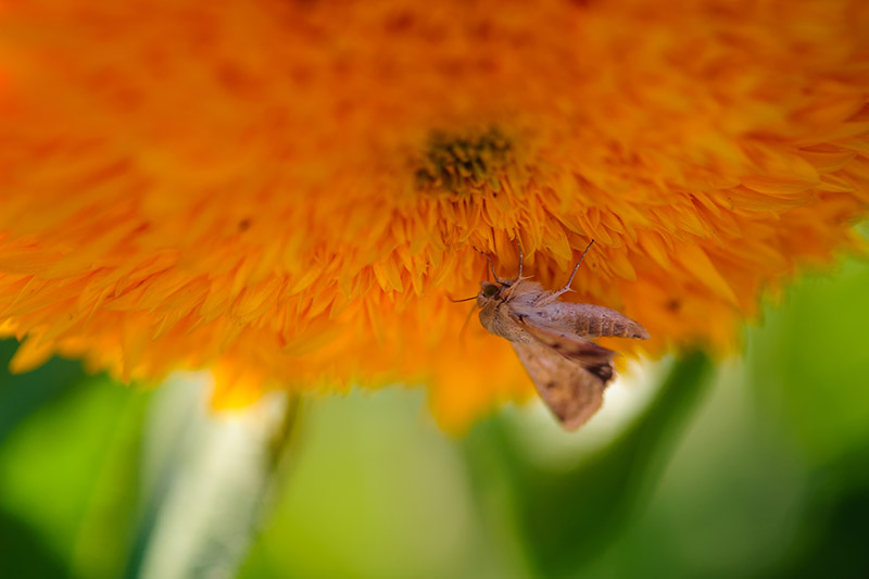 A close up horizontal image of a small insect feeding on a bright yellow flower pictured on a green soft focus background.