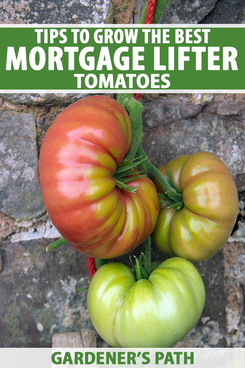 A close up vertical image of 'Mortgage Lifter' tomatoes growing up a stone wall, tied to a wooden stake with a red string. To the top and bottom of the frame is green and white printed text.