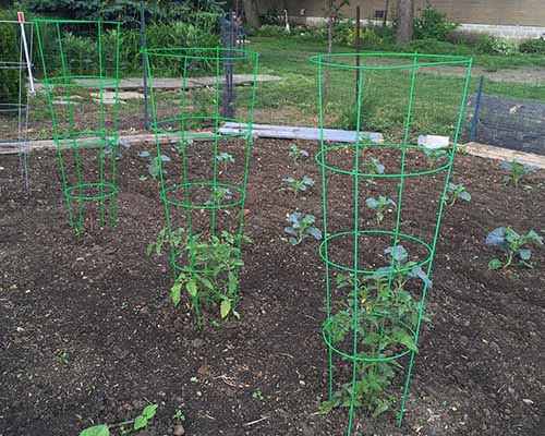 A close up square image of a set of tomato cages supporting small seedlings in a vegetable garden.