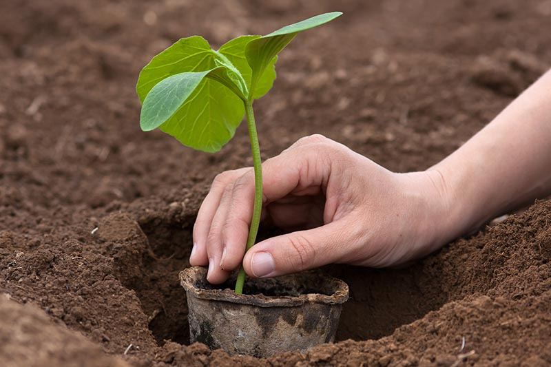 A close up horizontal image of a hand from the right of the frame transplanting a seedling in a biodegradable pot out into rich the garden.