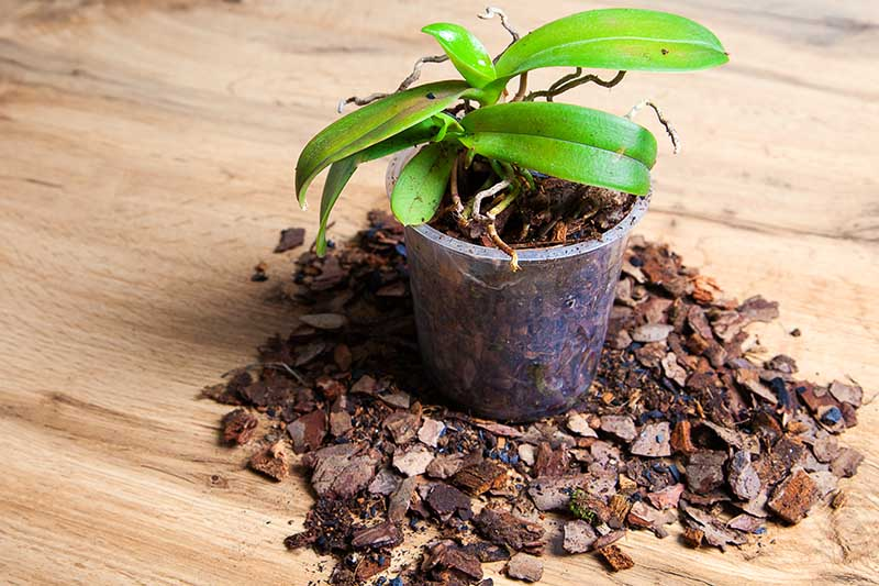A close up horizontal image of an orchid in a small pot that has had the potting medium refreshed set on a wooden surface.