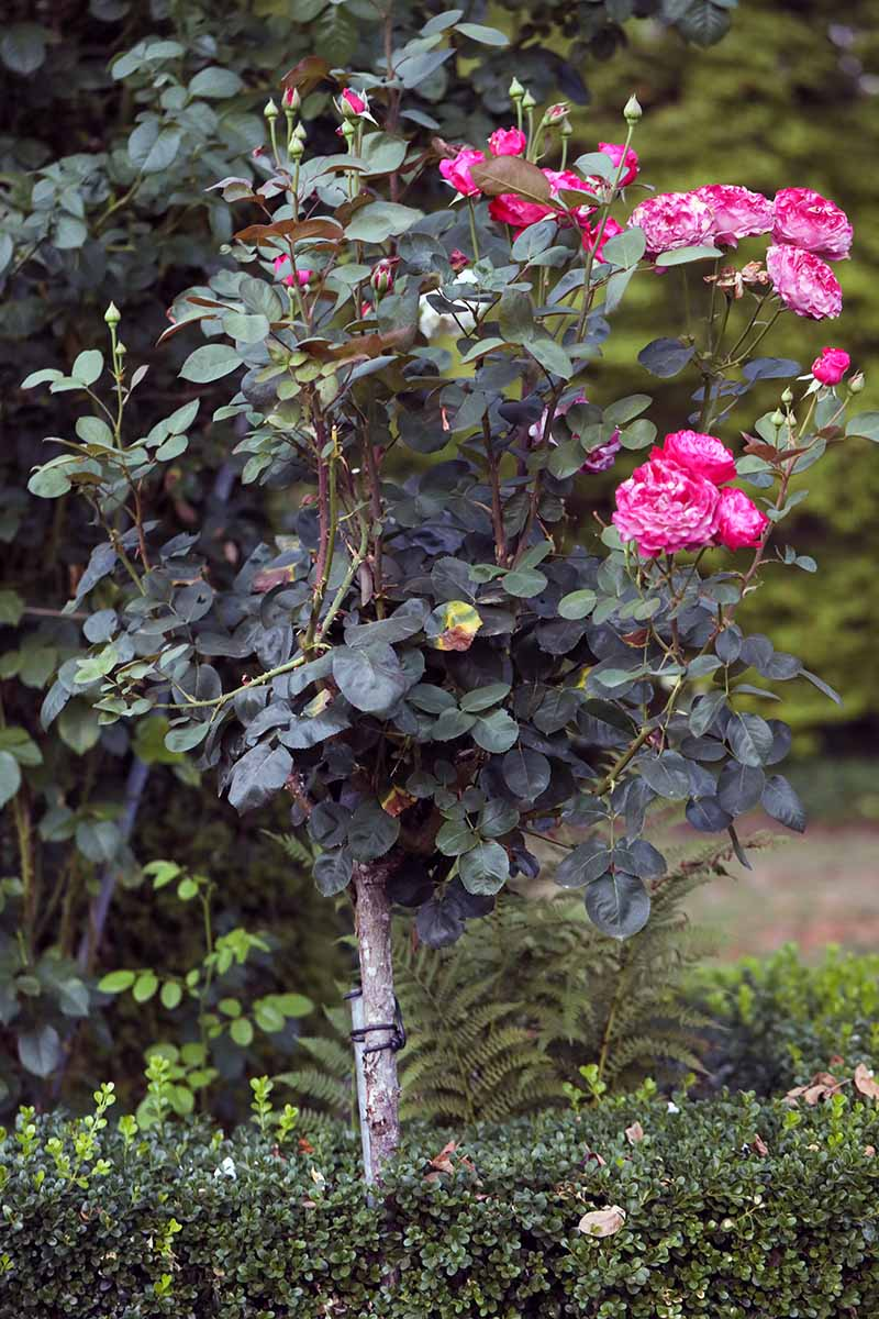 A close up vertical image of a tree-like shrub growing in the garden with bright pink flowers contrasting with the dark green foliage.