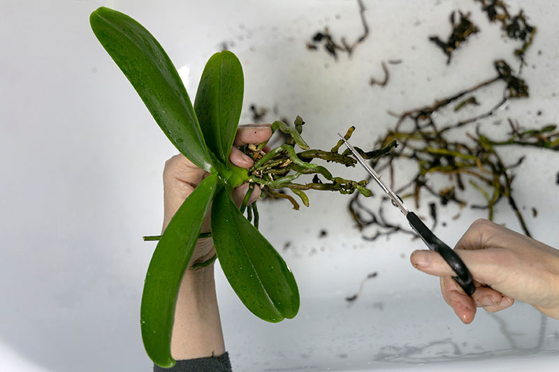 A close up horizontal image of two hands trimming unhealthy roots from a houseplant pictured on a white background.