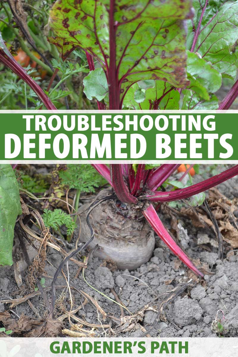 A vertical close up picture of a beet growing in the garden with green tops and purple stalks, surrounded by dry soil. To the center and bottom of the frame is green and white printed text.