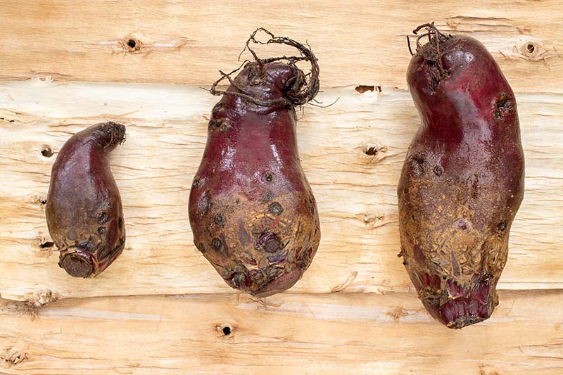 A close up horizontal image of three Beta vulgaris roots of different shapes and sizes set on a wooden surface.
