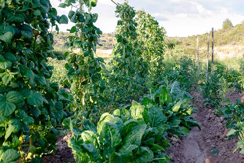 A horizontal image of a vegetable patch growing chard, beans, and a variety of other vegetables, pictured in light sunshine with hills in soft focus in the background.