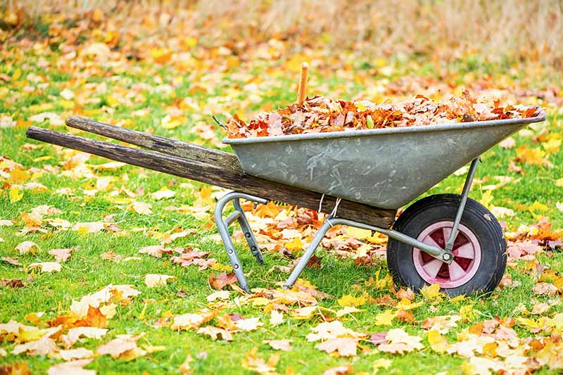 A close up horizontal image of a wheelbarrow in the garden filled with leaves raked from the lawan.