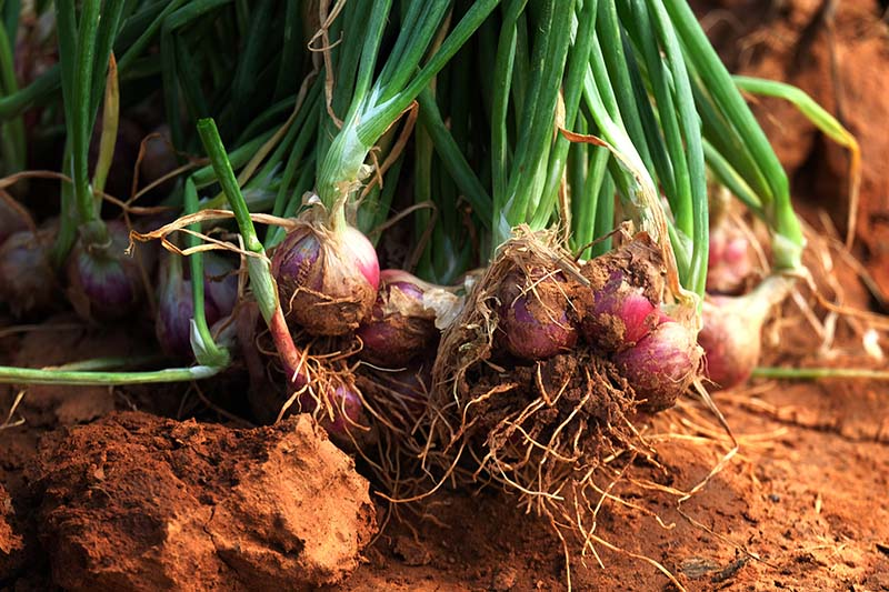 A close up horizontal image of freshly harvested shallots set on soil in the garden, with green foliage and red bulbs, pictured in bright sunshine on a soft focus background.