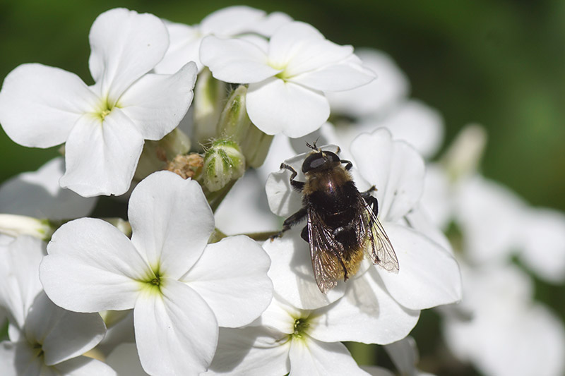 A close up horizontal image of white dame's rocket flowers growing in the garden with a bee feeding on the bloom, pictured on a soft focus background.