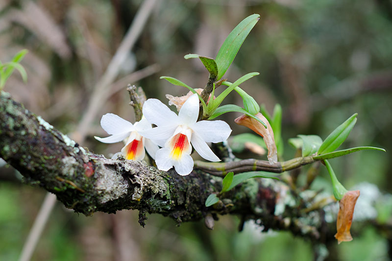 A close up horizontal image of Dendrobium christyanum flowers, white with orange centers, growing on a tree limb pictured on a soft focus background.