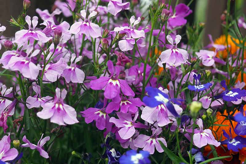 A close up horizontal image of blue, pink, and purple garden lobelia growing in a container, fading to soft focus in the background.