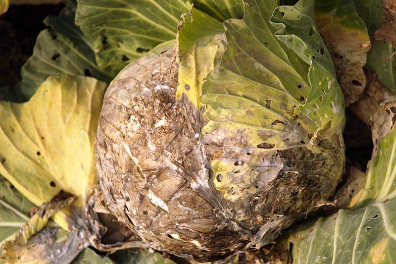 A close up horizontal image of a cabbage head suffering from white mold, a disease that causes the head to rot.