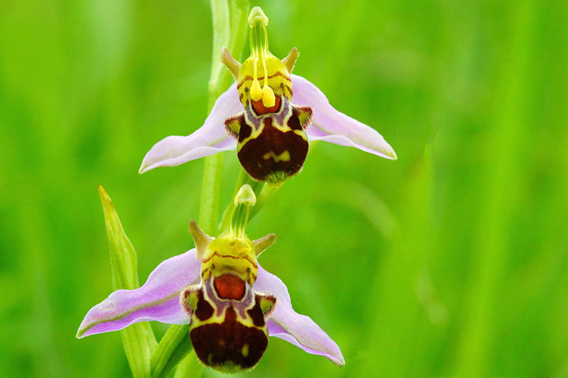 A close up horizontal image of two Ophrys apifera (bee orchid) flowers isolated on a green background.