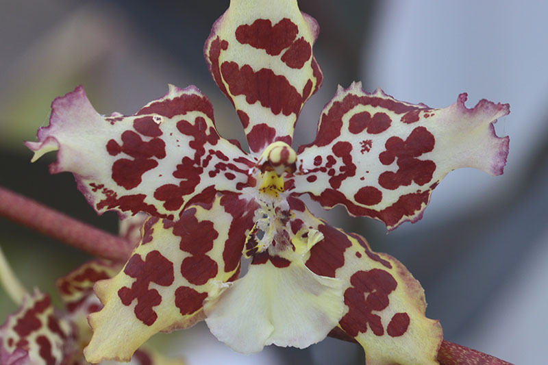 A close up horizontal image of the harlequin patterned flower of Wilsonara hybrid orchid pictured on a soft focus background.