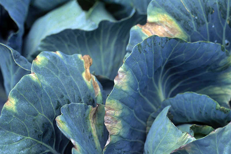A close up horizontal image of cabbage leaves suffering from an infection caused by the bacteria Xanthomonas campestris.