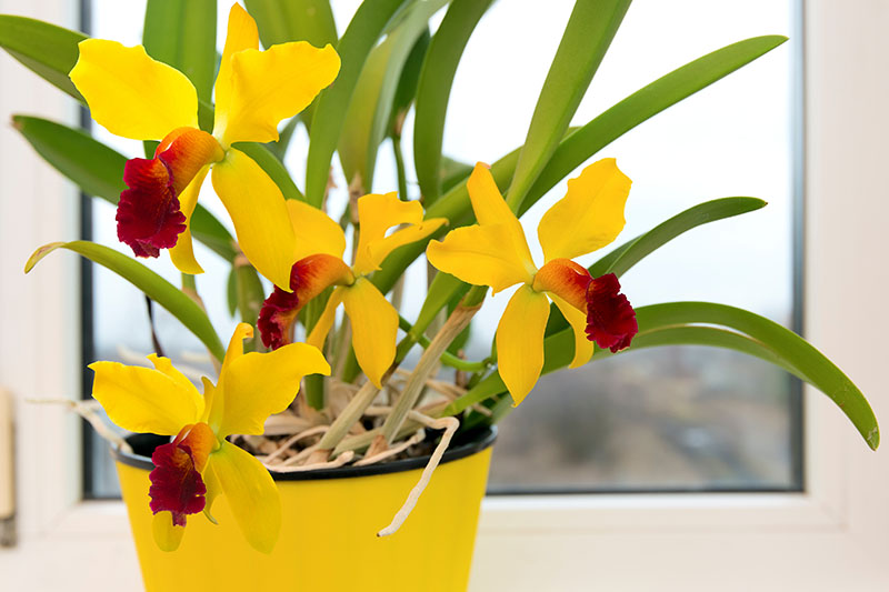 A horizontal image of yellow cattleya orchids with dark red centers growing in a yellow pot on a windowsill.