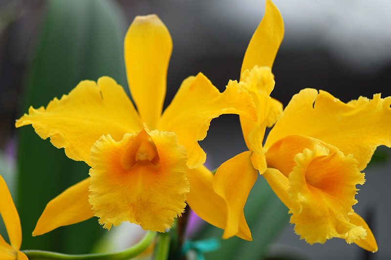 A close up horizontal image of yellow Cattleya orchids pictured on a soft focus background.
