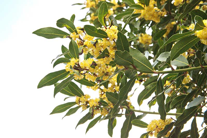 A horizontal image of the yellow flowers and green foliage of Laurus nobilis against a blue sky background.